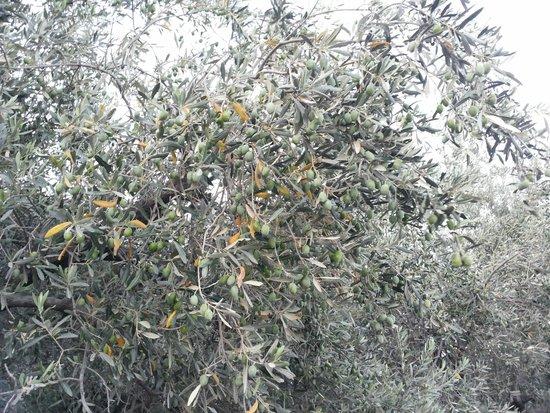 Golden Odyssey Kolimbia: Колимбия. Оливки