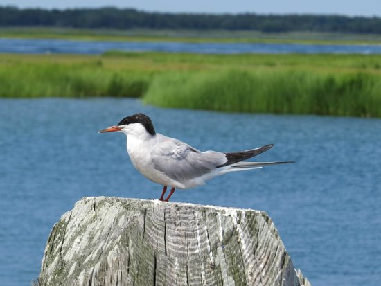 Salt Marsh Safari-The Skimmer: tern