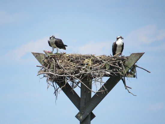 Salt Marsh Safari-The Skimmer: ospreys on nest