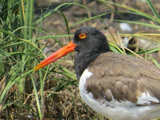 Salt Marsh Safari-The Skimmer: oystercatcher