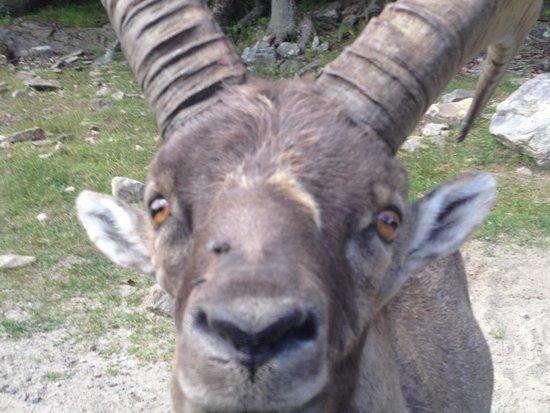 Parc Oméga : Ibex at Parc Omega