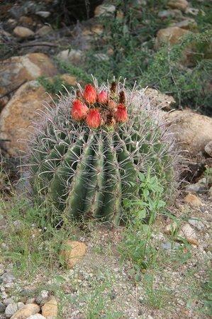 Barrel Cactus in Catalina State Park.