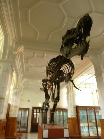 The Manchester Museum: Cast of T Rex fossil