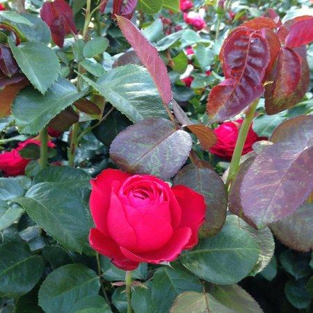 International Rose Test Garden : Rose Garden 2014