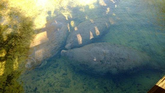 Ellie Schiller Homosassa Springs Wildlife State Park : Resident Manatees