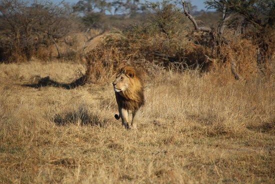 Savute Safari Lodge: Lion King?