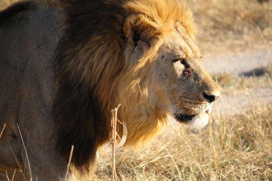 Savute Safari Lodge : Beautiful lion