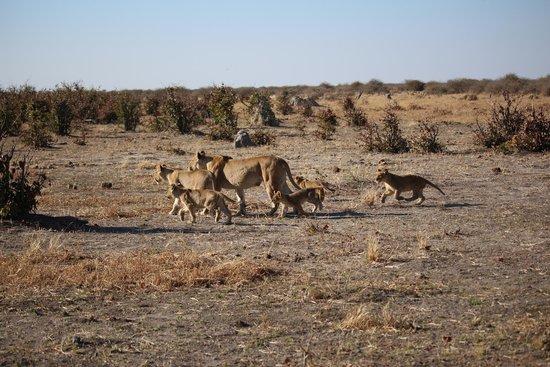 Savute Safari Lodge : Lions on the move