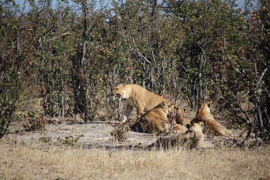 Savute Safari Lodge : Lion pride