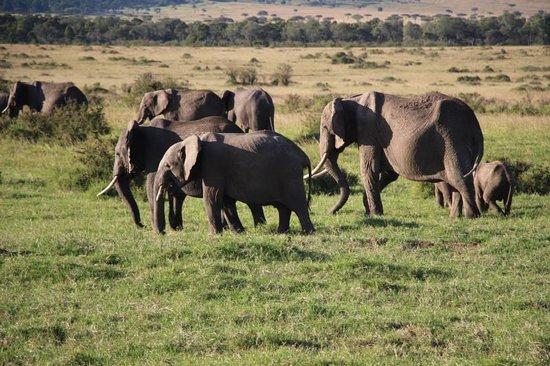 Mara Serena Safari Lodge: Elephant herd