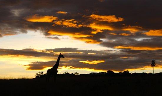 Mara Serena Safari Lodge: Giraffe in sunset