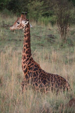 Mara Serena Safari Lodge: Giraffe