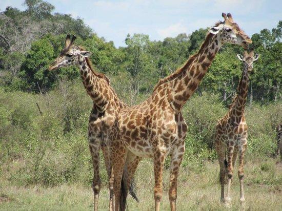 Mara Serena Safari Lodge: Giraffes