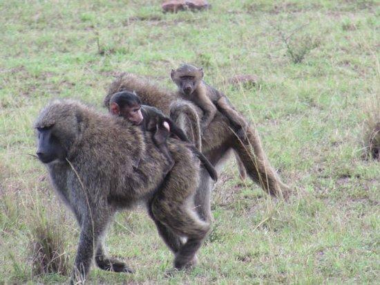 Mara Serena Safari Lodge : Baboon family