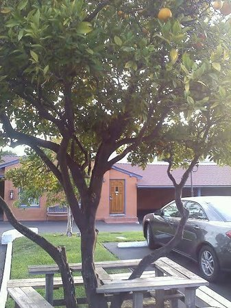 Los Padres Motel: hotel grounds - lemon tree!