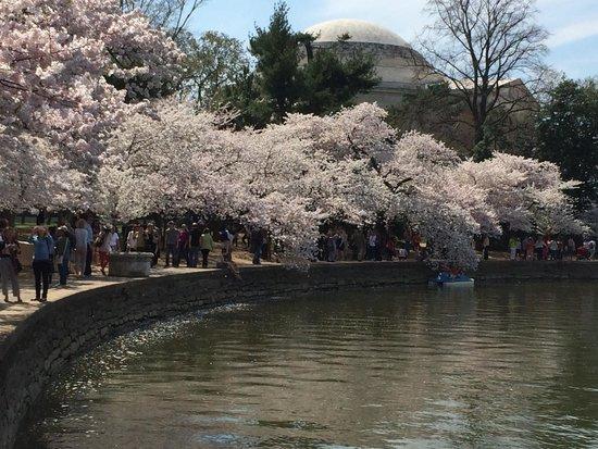 Tidal Basin : Cherry Blossom