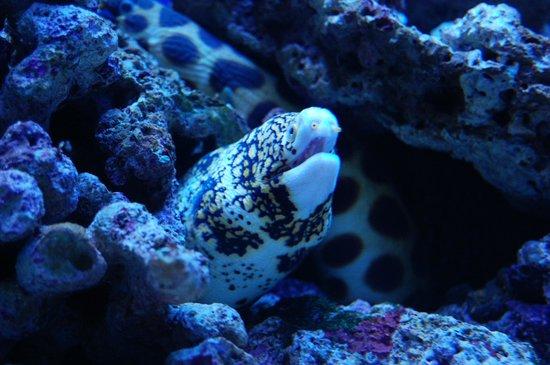 Waikiki Aquarium: Snowflake Eel