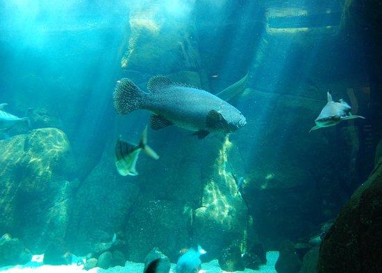 Waikiki Aquarium: Grouper