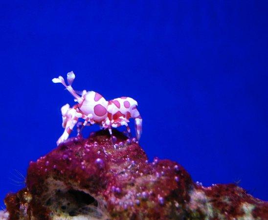 Waikiki Aquarium: Harlequin Shrimp