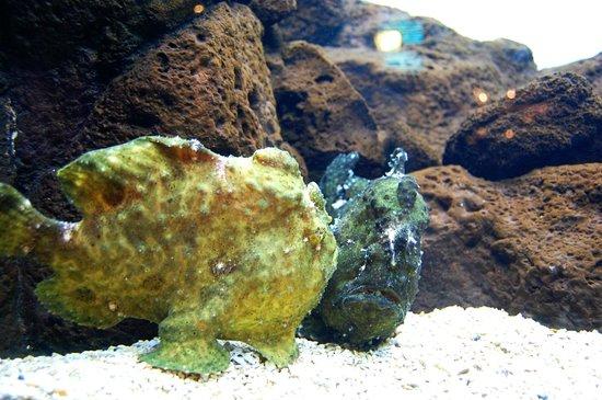 Waikiki Aquarium: Frog Fish