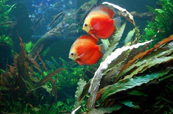 Waikiki Aquarium: Discus