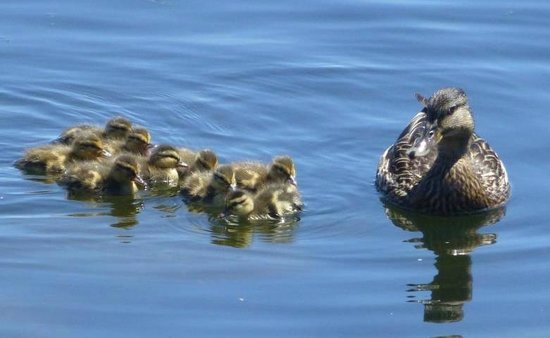 High Street Historic District : Mama and her ducklings by the park waterfront