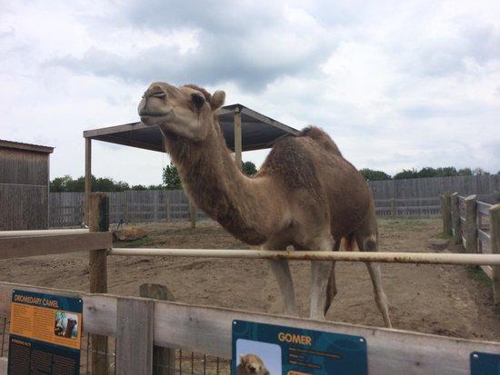 Creation Museum: Camel