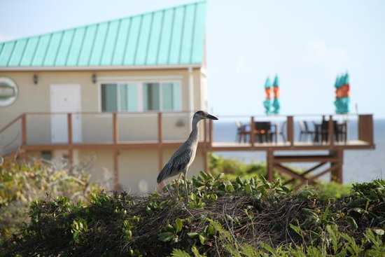 Blue Horizon Resort: Heron in front of the restaurant