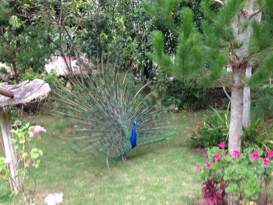 Aranwa Sacred Valley Hotel & Wellness : Peacock!