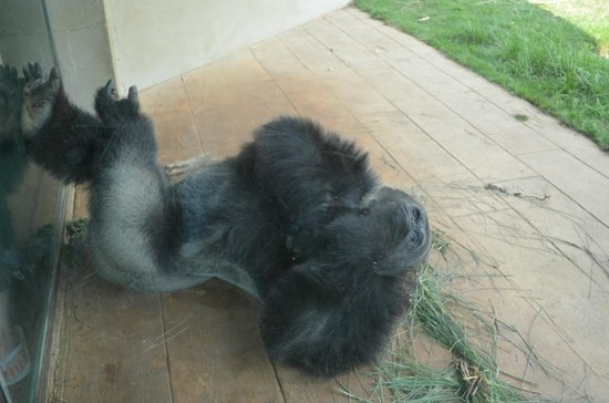 Riverbanks Zoo and Botanical Garden: Relaxing Gorilla
