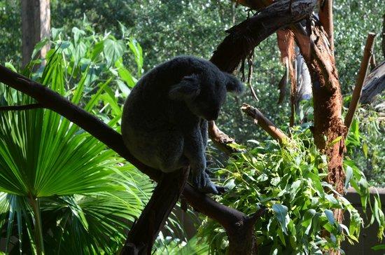 Riverbanks Zoo and Botanical Garden : Sleepy Koala