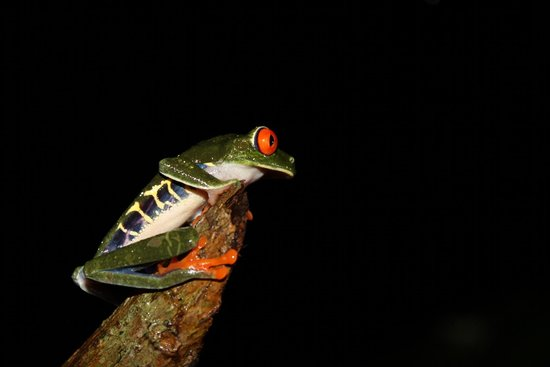 Ecocentro Danaus: Red eyed tree frog