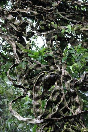 Ecocentro Danaus: Monkey ladder tree