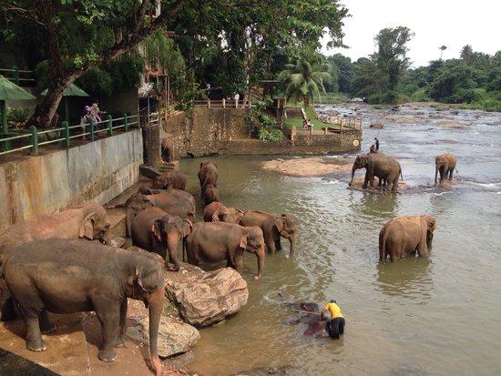 Pinnawala Elephant Orphanage: Elefanti al bagno