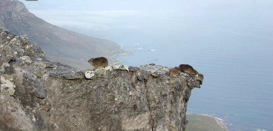 Table Mountain: Rock Hyrax