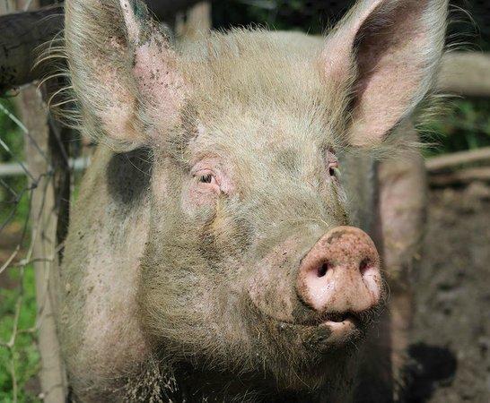 Hopefield Animal Sanctuary: Lucky the Pig