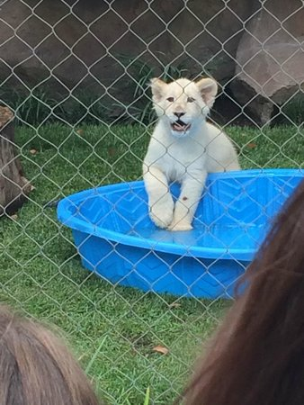 The Mirage Hotel & Casino: Baby white tiger.