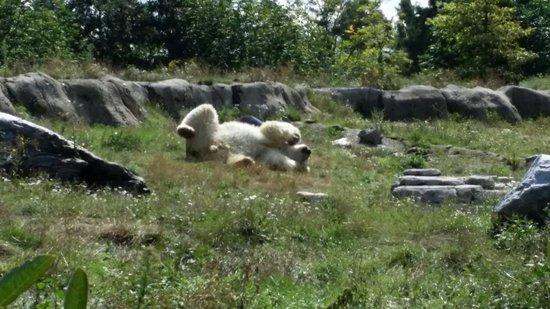 Rotterdam Zoo: Der happy Eisbär