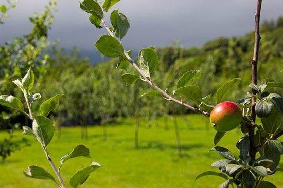 El Romano: Variedad de manzana con DOP Sidra de Asturias