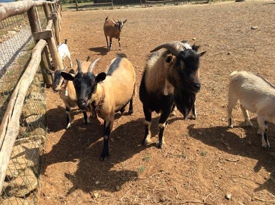 Popilia Country Resort: caprette tibetane