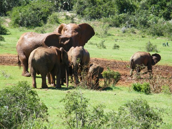 Kudu Ridge Game Ranch: Elephants in Addo