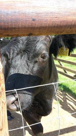 Mini Meadows Farm: Cow