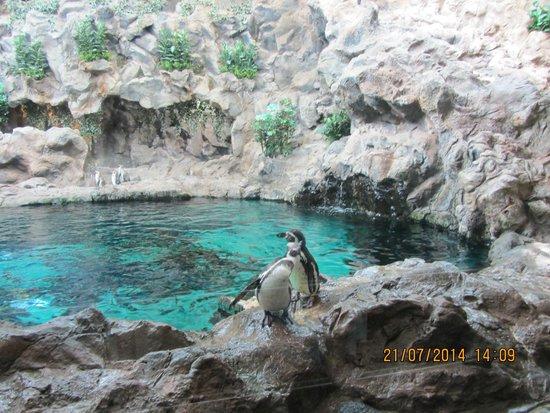 Loro Parque: Австралийские пингвины (не путать с арктическими)