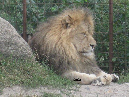 Odense ZOO : Sleepy lion