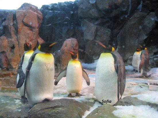 Odense ZOO : Αυτοκρατορικοί πιγκουίνοι