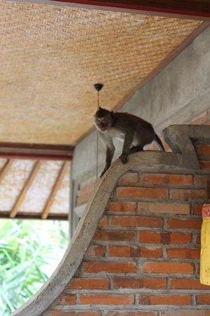 Ubud Permai Bungalow & Spa: monkey on our balcony