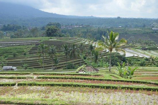 Jatiluwih Green Land : Jati Luwih