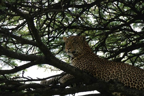 Offbeat Mara Camp: We saw 2 Leopards