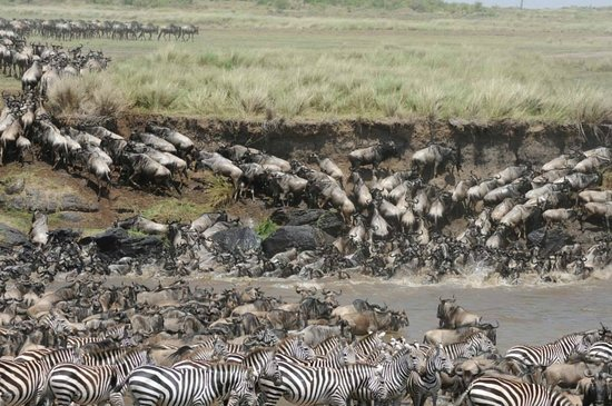 Offbeat Mara Camp: We saw 2 river crossings with crocs