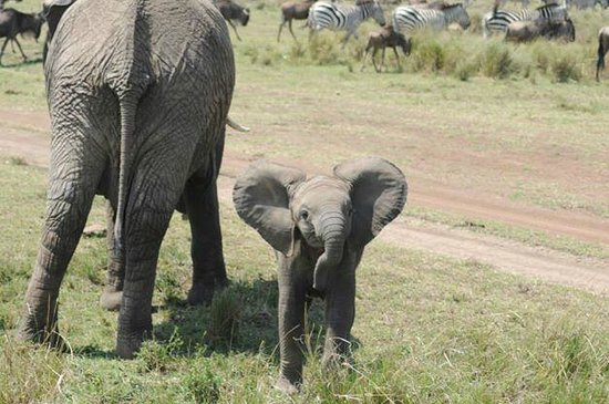 Offbeat Mara Camp: Trumpeting baby elephant